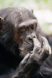 Chimpanzee Picking Nose, 'Gigi' Female 39 Yrs Photographic Print by Adrian Warren