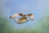 Common Kestrel in Flight Photographic Print