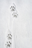 Snow Leopard Tracks Photographic Print