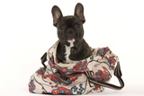 French Bulldog in Studio in Carrying Bag Photographic Print