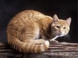 European Ginger Tabby Cat Photographic Print