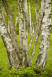 Coppiced Downy Birch Trunks in Laelatu Wooded Meadow Photographic Print