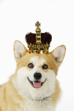 Welsh Corgi Dog Wearing Crown and Pearls Photographic Print