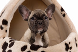 French Bulldog Puppy in Studio in Dog Bed Photographic Print