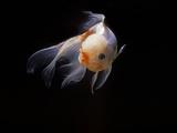 Aquarium Fish Lionhead Goldfish Photographic Print