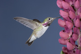 Calliope Hummingbird Male at Lupine Flower Photographic Print