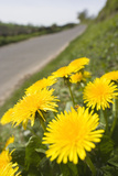 Dandelion Flowers on Roaside Verge Lámina fotográfica