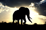 African Elephant Silhouetted Against Sunset Photographic Print