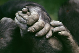Lowland Gorilla Showing Hands Photographic Print