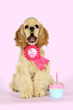 Cocker Spaniel Sitting Next to Cupcake Wearing Photographic Print