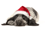 English Cocker Spaniel Puppy in Christmas Hat Photographic Print
