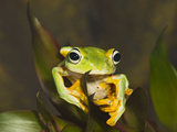 Flying Frog Close Up Showing Photographic Print