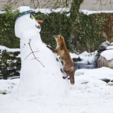 Red Fox Climbing Up Snowman Photographic Print