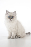 10 Week Old Ragdoll Kitten Photographic Print