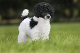 Harlequin Poodle Puppy Photographic Print