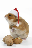 Syrian Hamster with Walnuts and Christmas Hats Photographic Print