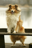 Rough Collie Dog Standing on Bench Photographic Print