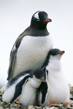 Gentoo Penguin Adult with Two Chicks Photographic Print