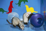 Pet Ferrets in Play Area Photographic Print