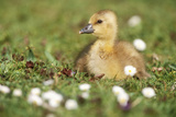 Greylag Goose Gosling Lying Down in Grass with Daisies Photographic Print
