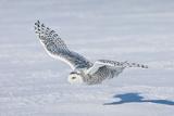 Snowy Owl Fotoprint
