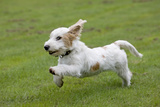 Basset Griffon Vendeen Young Dog Running Photographic Print