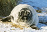 Grey Seal Young on Snow Covered Beach Photographic Print