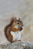 American Red Squirrel Eating a Nut Photographic Print
