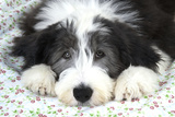 Bearded Collie Puppy Photographic Print