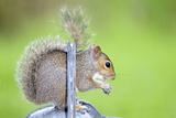 Grey Squirrel Standing on Metal Watering Can Photographic Print