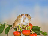 Harvest Mice on Rose Hips Photographic Print