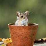 Wood Mouse in Flower Pot Photographic Print
