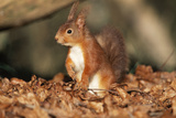 Red Squirrel Sitting Up Photographic Print