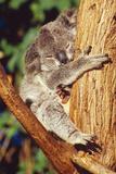 Koala Asleep in Tree Fotografisk tryk