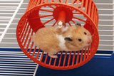 Syrian Hamster Running in Hamster Wheel Photographic Print