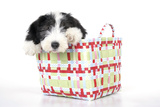 Bearded Collie Puppy in Basket Photographic Print
