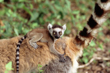 Ring-Tailed Lemur -Baby on Back Photographic Print by Adrian Warren