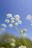Cow Parsley Flowers Photographic Print