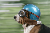 Basset Hound Wearing Goggles and Helmet Photographic Print