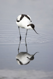 Pied Avocet Feeding Photographic Print