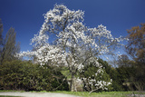 Magnolia Tree Blossom in Springtime Photographic Print