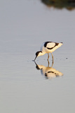 Avocet Feeding in Early Morning Sun Reproduction photographique