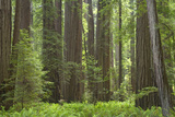 Coastal Redwood Forest, Stout Grove Photographic Print