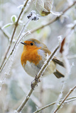 Bird Robin in Frosty Setting Photographic Print
