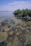 Horseshoe Crab Fotografisk tryk