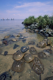Horseshoe Crab Photographic Print