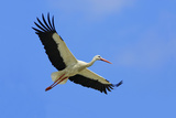 White Stork in Flight Reproduction photographique