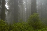 Coastal Redwood Forest in Fog Photographic Print