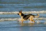 German Shepherd, Alsatian Dog on the Beach, Playing Photographic Print