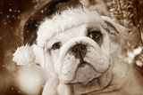 English Bulldog Close-Up of Face Photographic Print